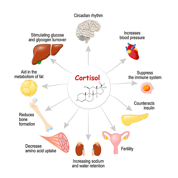 تاثیر هورمون کورتیزول بر بدن